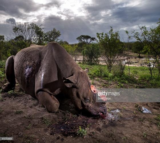 Animaux en voie de disparition: repenser les règles du commerce pour contrer une extinction «sans précédent»