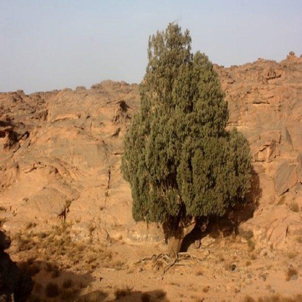 Le cyprès du Tassili menacé d'extinction dans le Sahara central