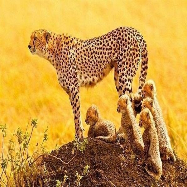 Le guépard saharien réapparu dans l'Ahaggar