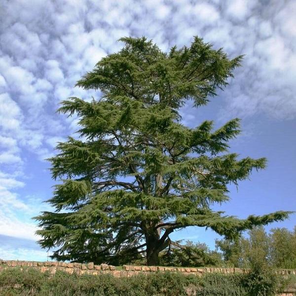 Environnement: Deux études pour la réalisation d'une pépinière de Cèdre de l'Atlas et de classification du Genévrier thurifère
