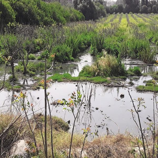 Rejets d'eaux usées à Chlef : Des poiriers inondés