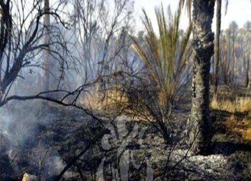 Ouargla: plus de 250 palmiers détruits par les flammes